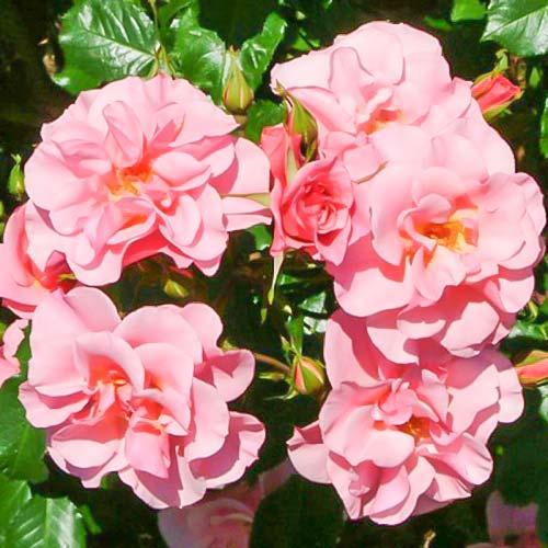 Trandafir floribunda Sweet Lullaby imagine 1 articol 3672
