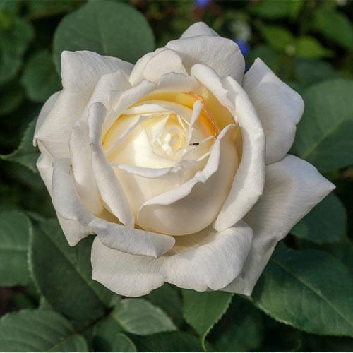 Trandafir teahibrid Virgo imagine 1 articol 3674