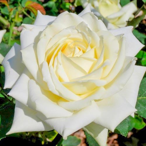 Trandafir teahibrid White imagine 1 articol 3627