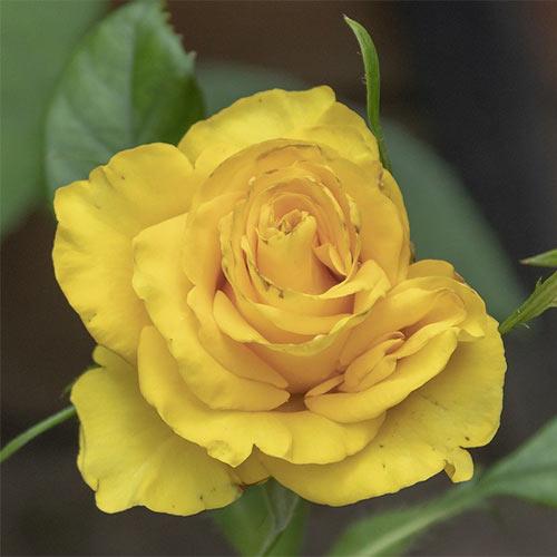 Trandafir teahibrid Yaffa imagine 1 articol 3676
