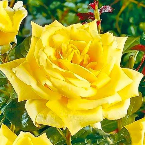 Trandafir teahibrid Yellow imagine 1 articol 3630