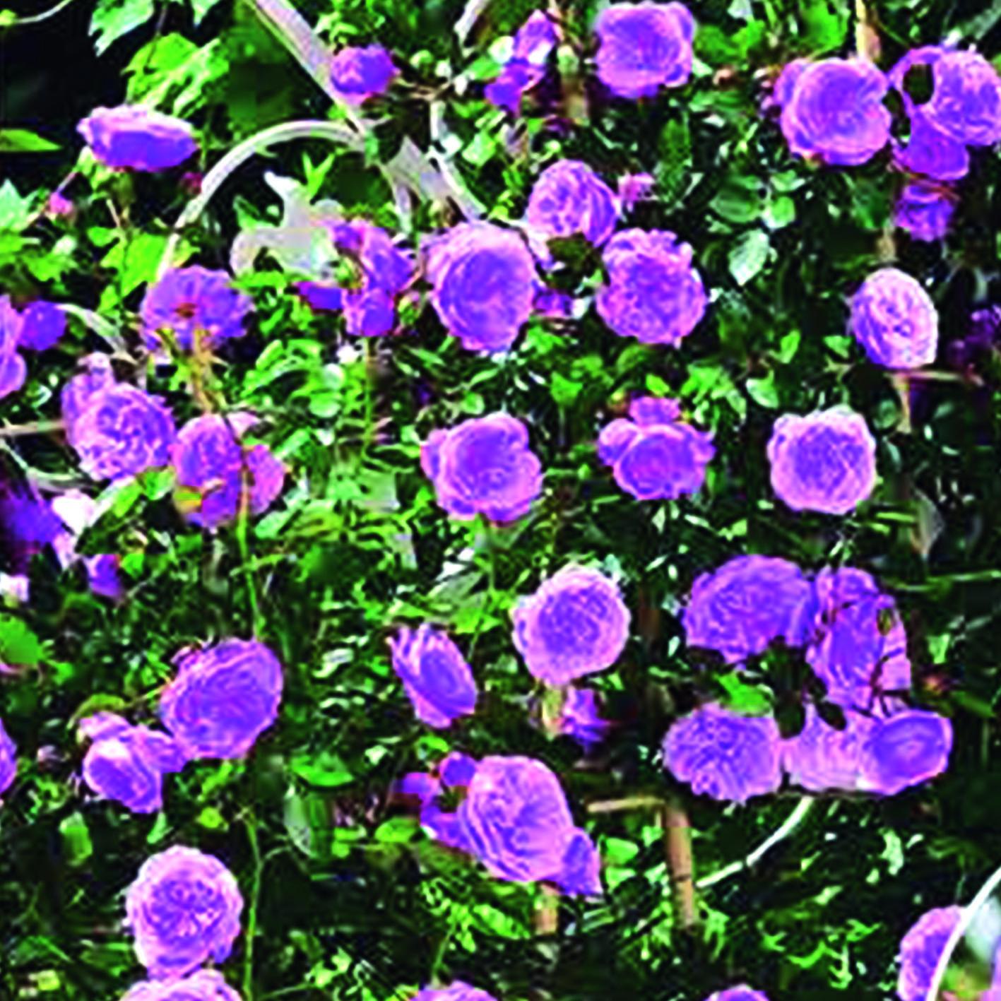 Trandafir urcător Blue & Violet