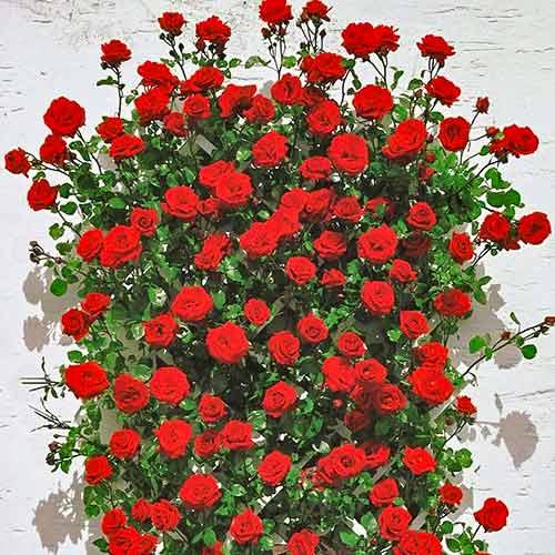 Trandafir urcător Mushimara