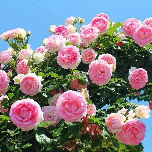 Trandafir urcător Pink Large imagine 1 articol 2182