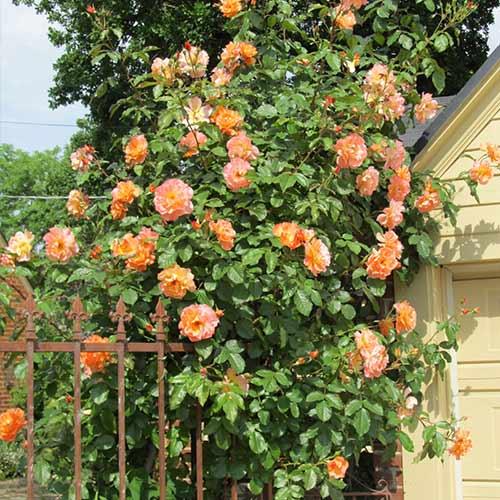 Trandafir urcător Pink & Orange imagine 1 articol 3640