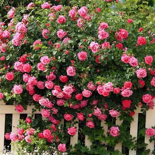 Trandafir urcător Pink