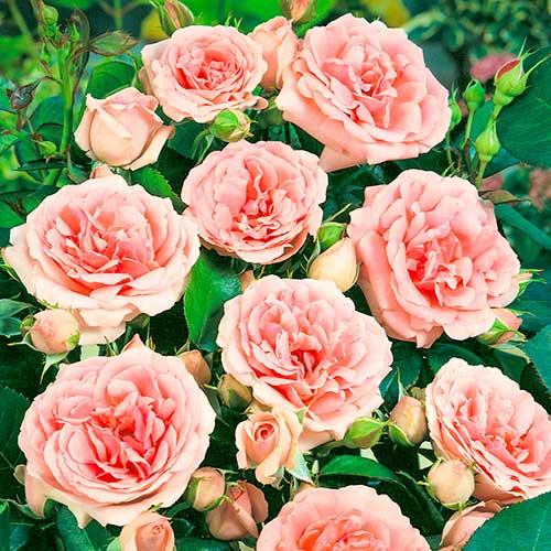 Trandafir floribunda Kimono imagine 1 articol 2253