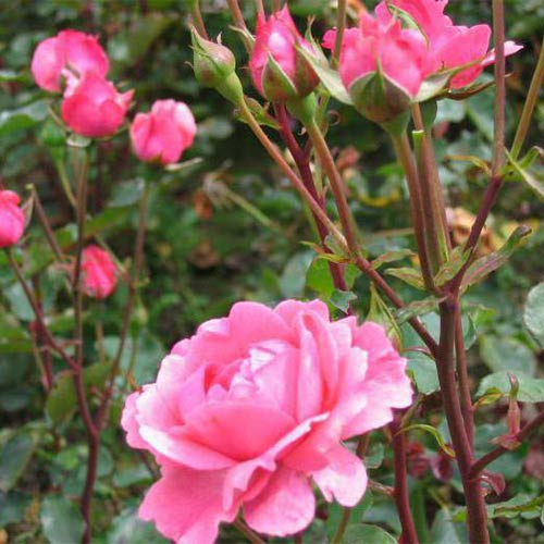 Trandafir floribunda Tom-Tom imagine 1 articol 2260