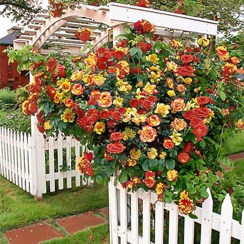 Trandafir Urcator Banzai imagine 1 articol 2299