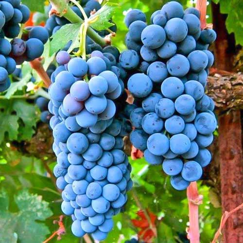 Viță de vie Cabernet Sauvignon imagine 1 articol 7336