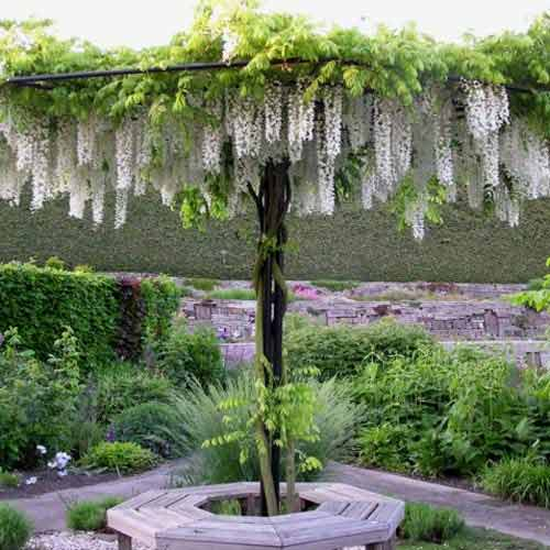 Glicină (Wisteria sinensis) Alba imagine 1 articol 9023