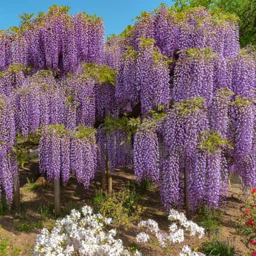 Glicină (Wisteria sinensis) Blue Prolific