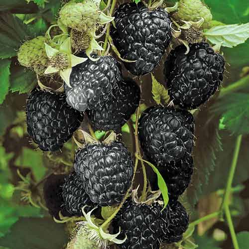 Zmeur negru Black Jewel imagine 1 articol 7549