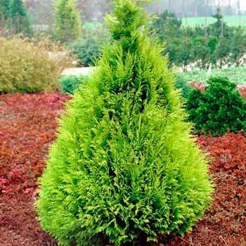 Arbori coniferi