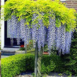 Liane ornamentale