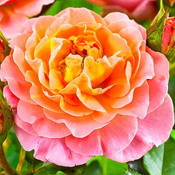 Trandafiri Englezești