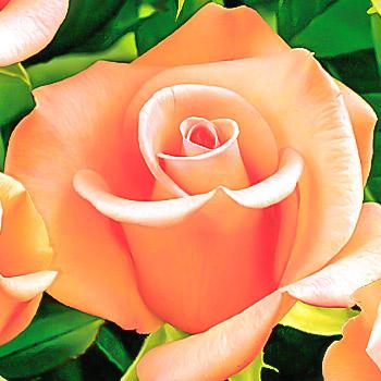 Trandafiri Miniatur