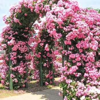 Trandafiri Urcători
